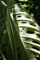 Monstera in the Morning