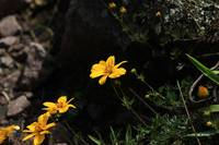 Yellow Wildflowers at Lake Cuicocha