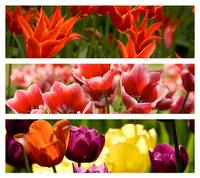 Collage from Different Colored Tulips