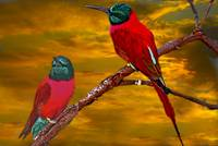 African Bee Eaters