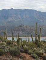Lakeside Saguaros