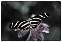 ZEBRA BUTTERFLY B&W COLOR