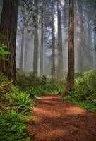 Redwood Tree Path