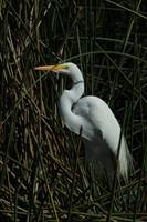 Great Egret Standing in Reeds