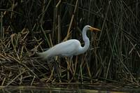 Great Egret Next to Water