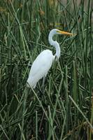 Great Egret in Reeds