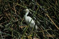 Snowy Egret in Reeds in a Lake