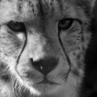 Cheetah Black and White by Karen Adams