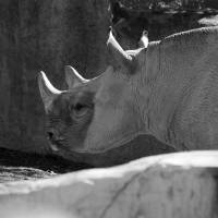 Rosie Rhino Black and White by Karen Adams