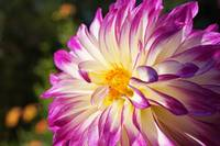 White Purple Dahlia Flowers Fine Art Prints Gifts