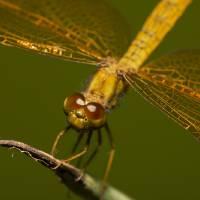 Golden dragonfly Art Prints & Posters by Cynthia Bandurek