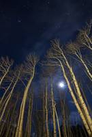 Winter Moon Through the Aspens