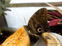 Owl Eye Butterfly 2