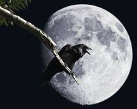 Raven Barking at the Moon