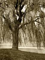 WEEPING WILLOW MIST