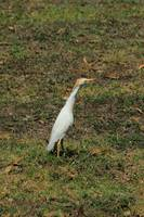 Cattle Egret in a Pasture on a Farm