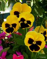 Do you love pansies?