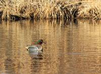 Male Green Winged Teal IMG_6260