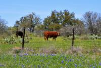 Cows and Bluebonnets