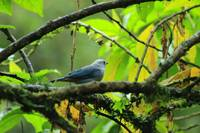 Blue Gray Tanager on a Branch