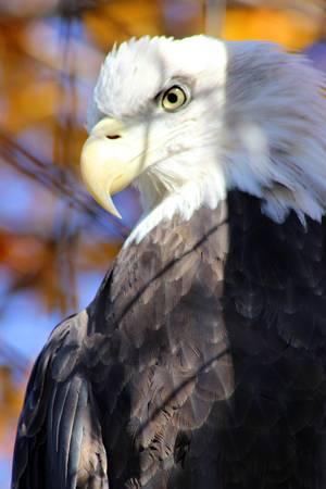 Bald Eagle 2015