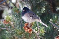 Bird on Pinon