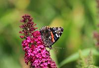 Red Admiral Butterfly in Garden 2015