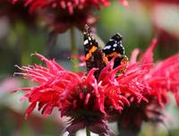 Red Admiral Hide and Seek