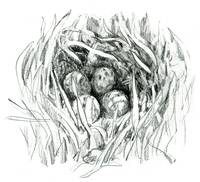Black-tailed Godwit Nest