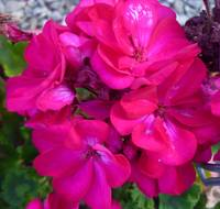 Truly Gorgeous Purple Pink Begonias