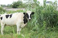 Cow in a Corn Field
