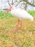 Wild White Bird of Florida