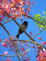 Red-vented Bulbul on a Shower Tree