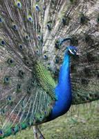 Peacock Fan by Carol Groenen