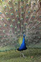 Proud Peacock by Carol Groenen