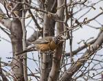 American Robin in Bradford Pear Tree by Allen Sheffield