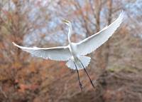 Flying Great Egret in Brown