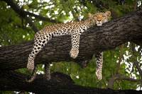 Chilled leopard