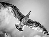 Seagulls in the sky BW