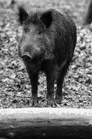 Little boar BW