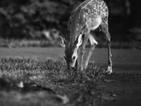 The fawn BW