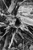 Driftwood Stump in B&W