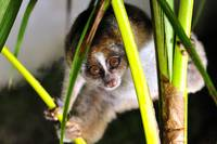 Hallo, I Am A Slow Loris