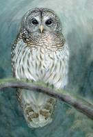 Barred Owl artspan print highres
