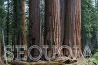 A cluster of Sequoias in Sequoia National Park