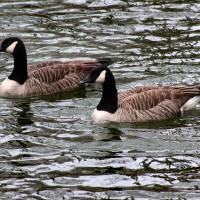 Canada Geese 8x10 by Karen Adams