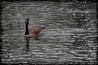 Canada Goose Wondering About You Vignette