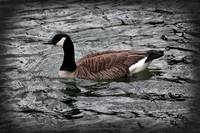 Canada Goose With Vignette