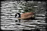 Canada Goose With Dark Edge