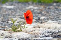 papaver-red flower growing out of pavement